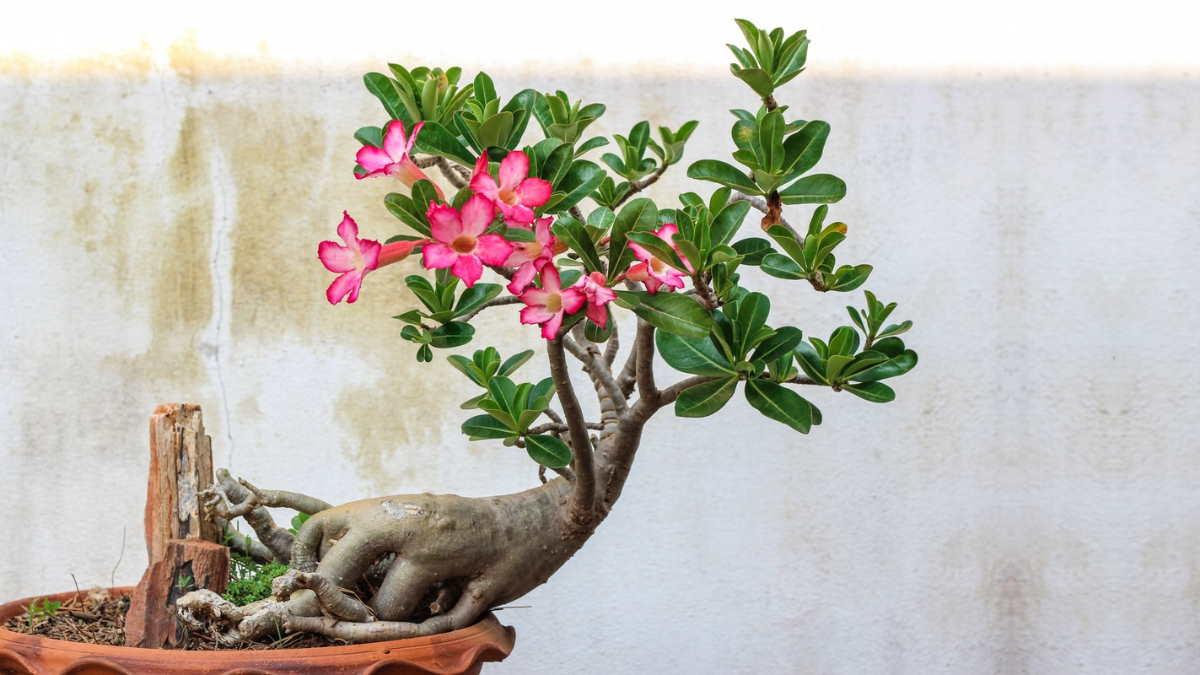 Растение Роза пустыни