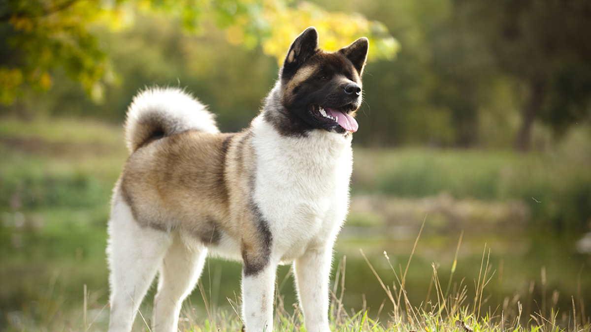 Собака породы Американская акита