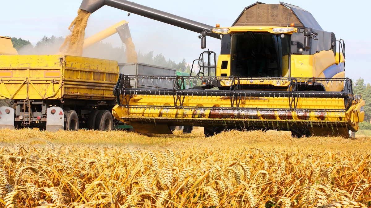 пшеница зерно урожай