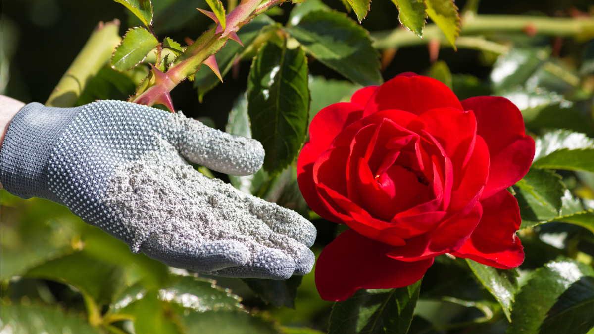 роза зола