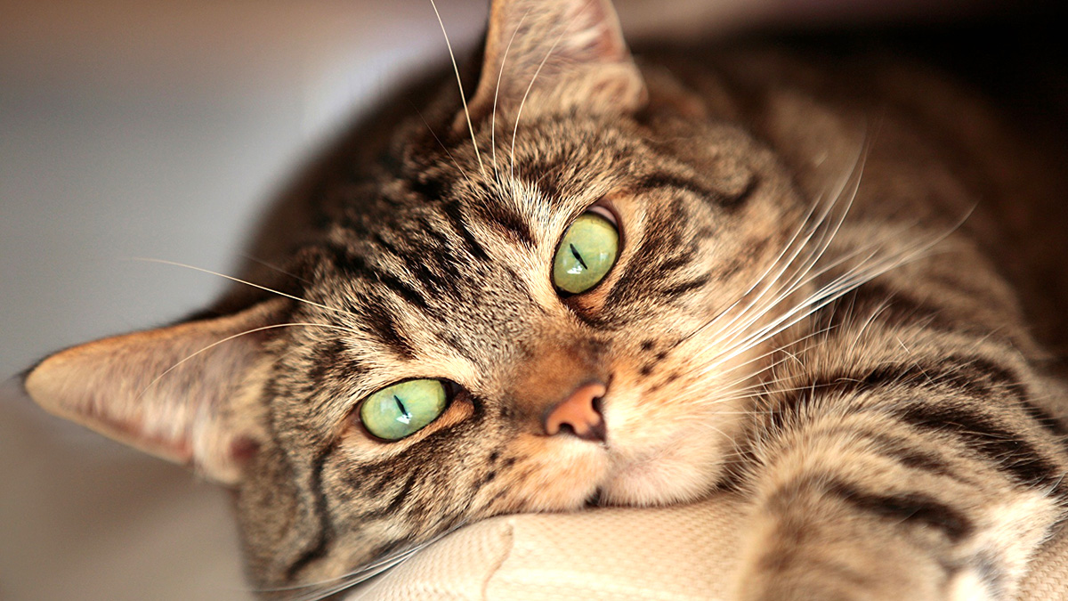 Самы красивые породы кошек
