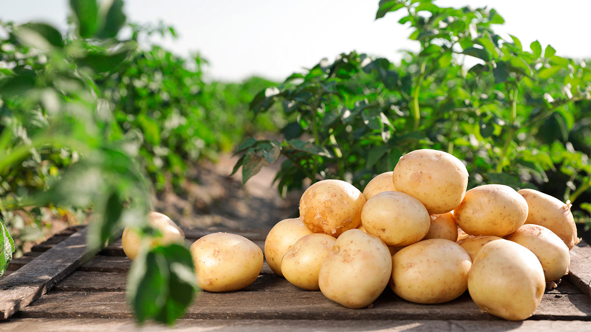 Украина стала экспортером картофеля