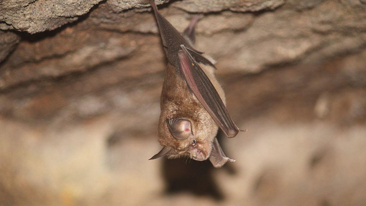 Летучие мыши вида Rhinolophus (подковоносые)