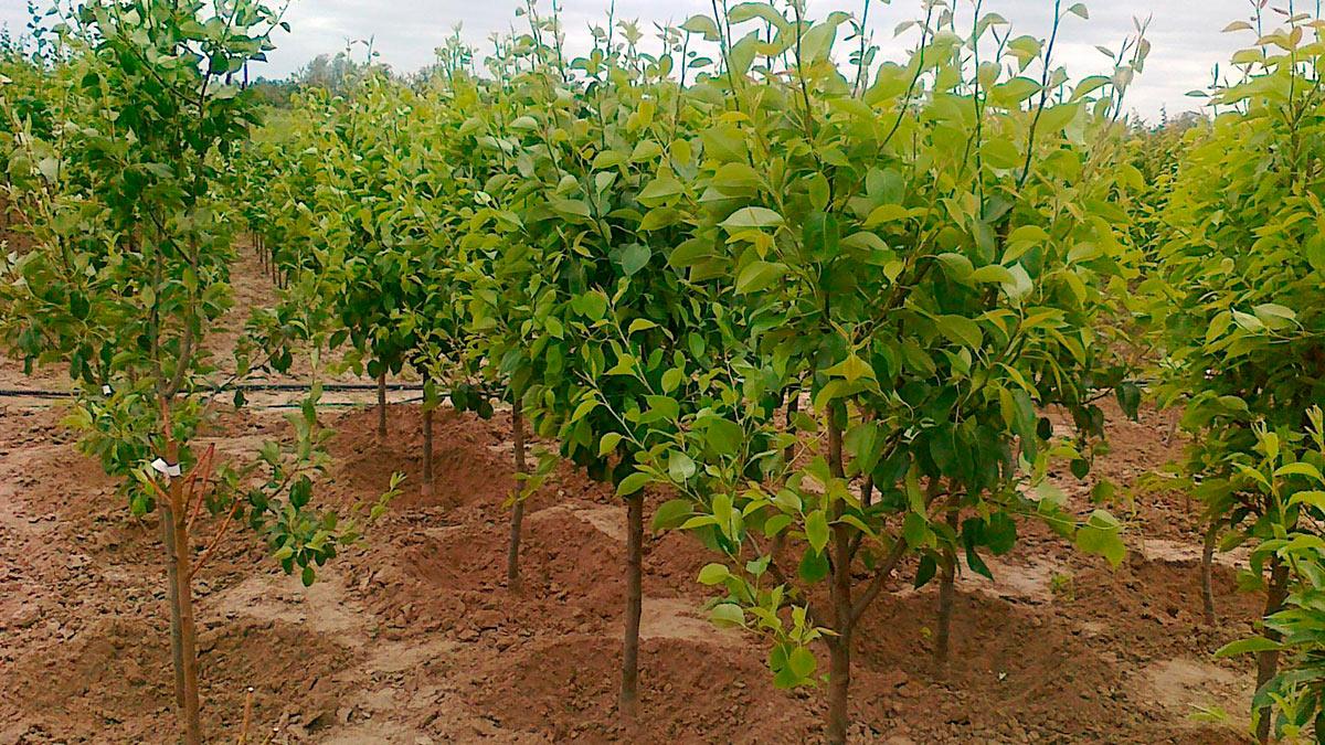 деревья груши