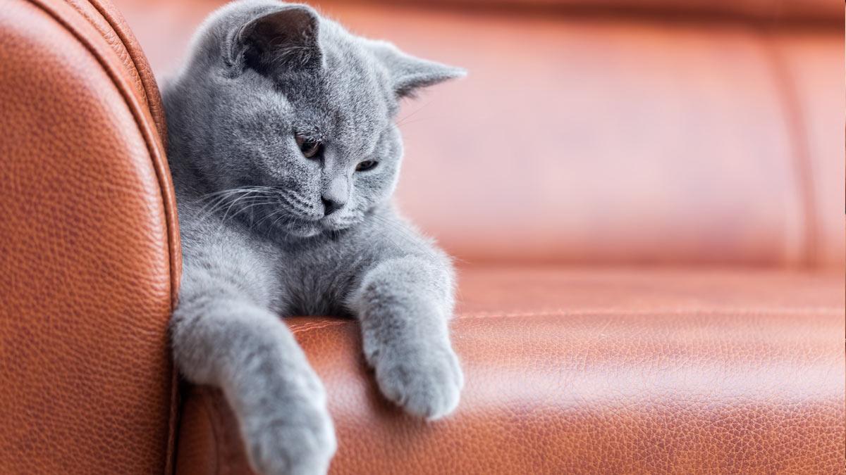 кот красивый лежит