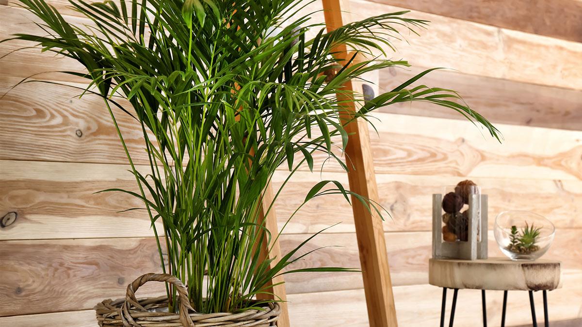 Сорта пальм для выращивания дома
