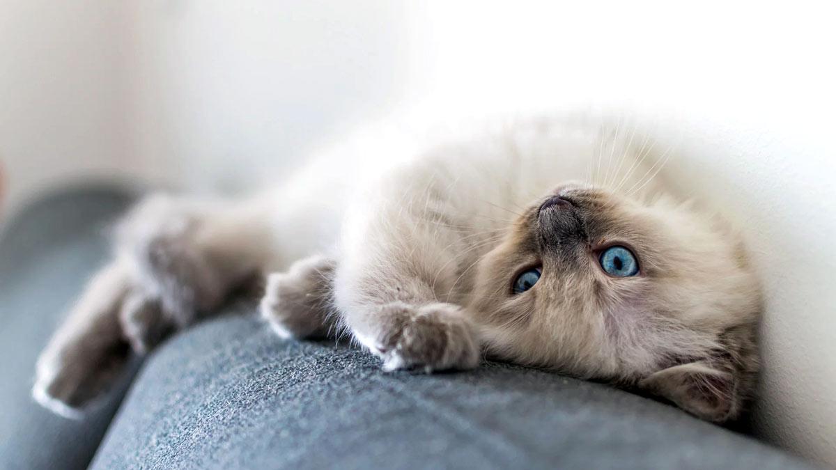 Породы кошек для маленькой квартиры