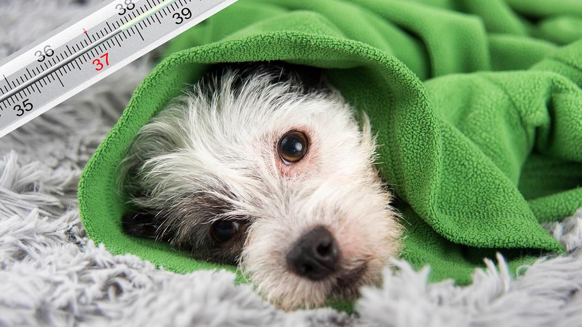 собака под одеялом простуда