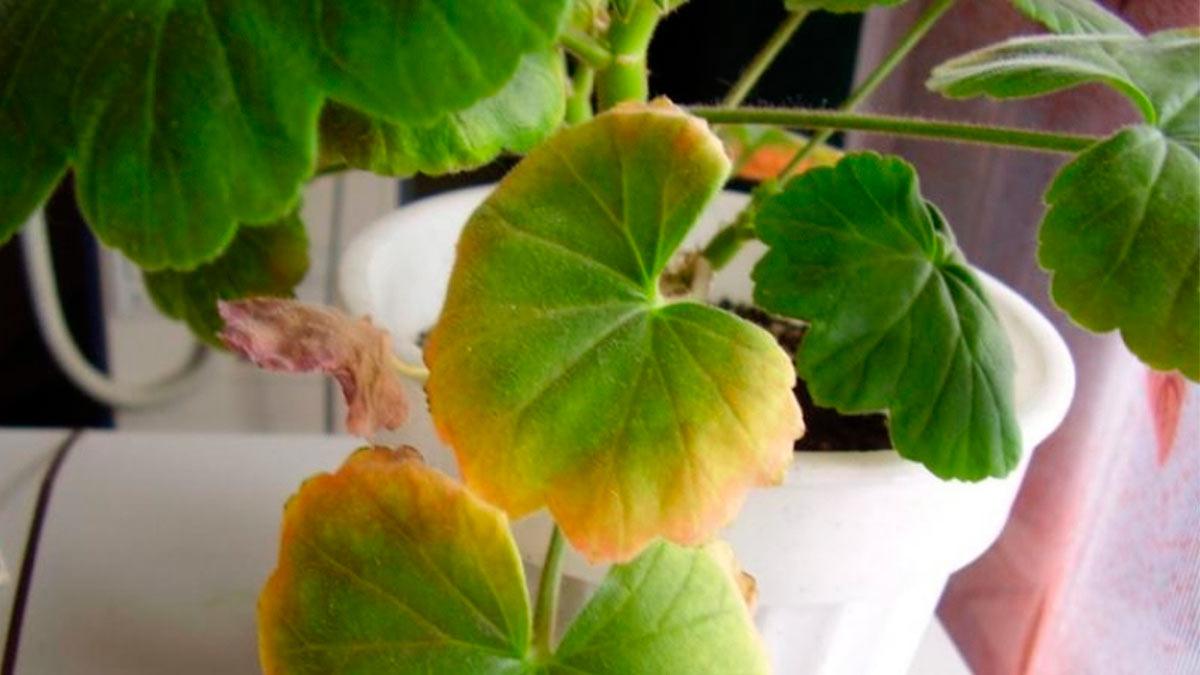 желтеют листья у Герани