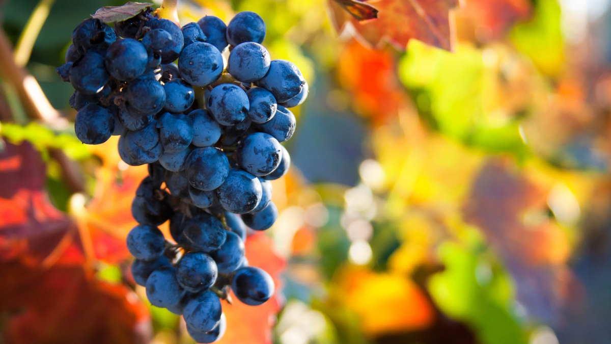 виноградная лоза осенью