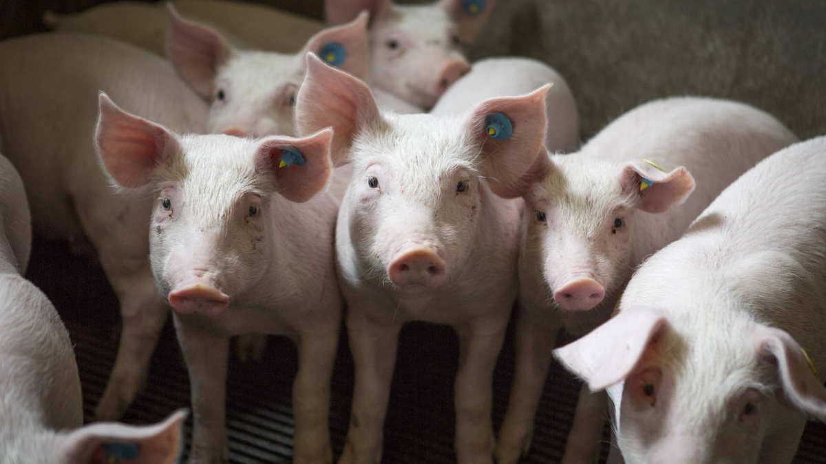 Свиньи на свиноферме
