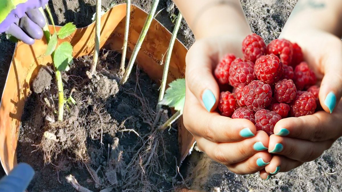 Как сажать малину осенью