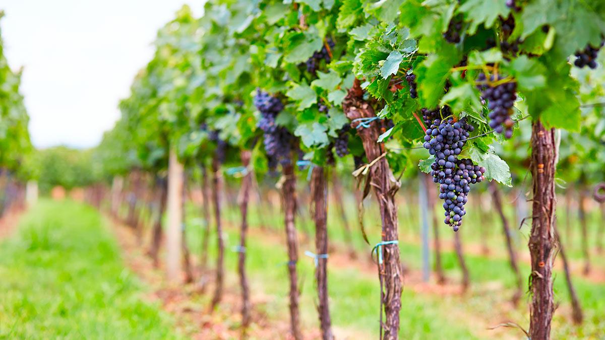 Виноградники Золотая балка