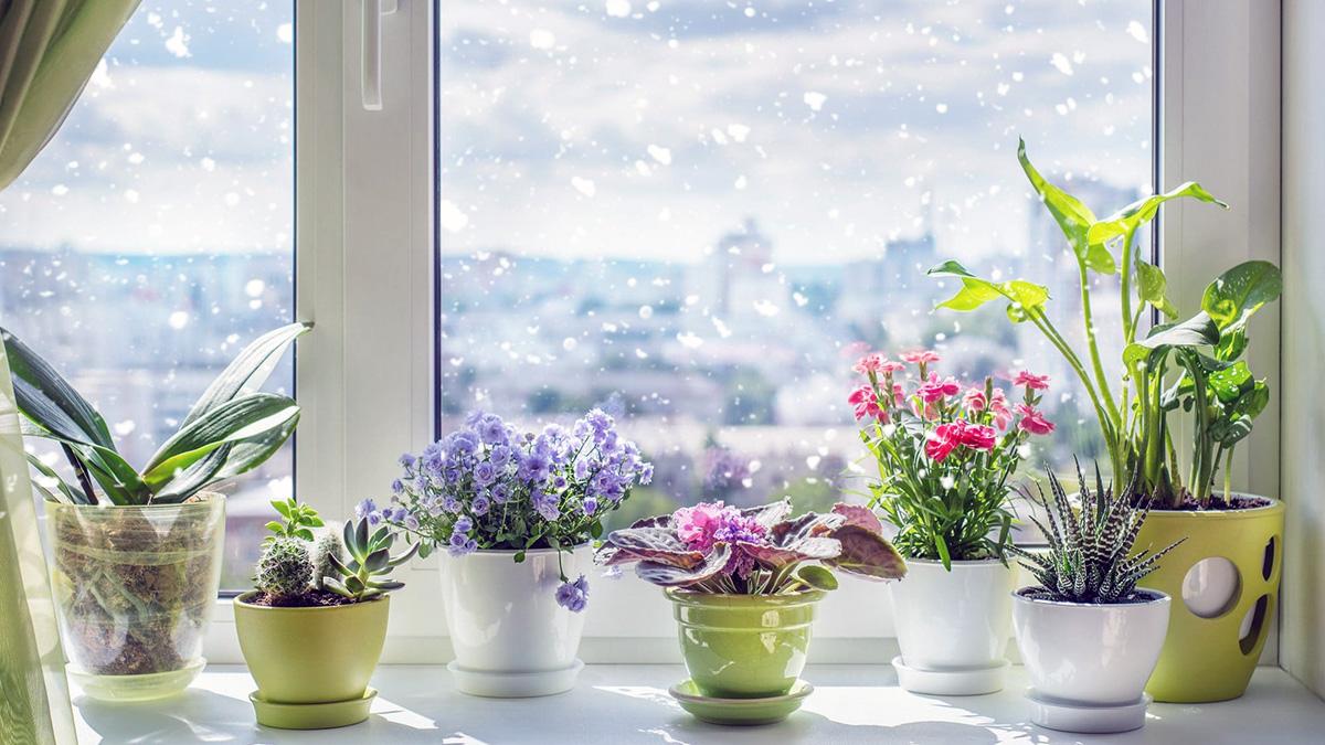 5 комнатных цветов цветущих зимой