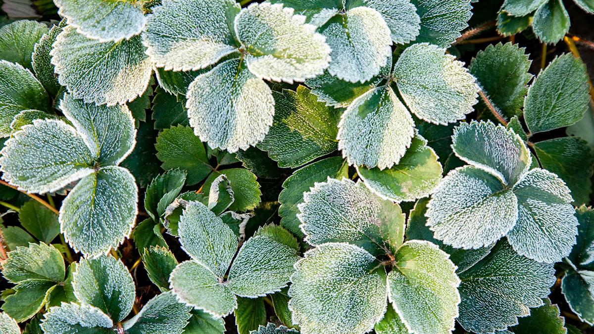 земляника садовая на зиму